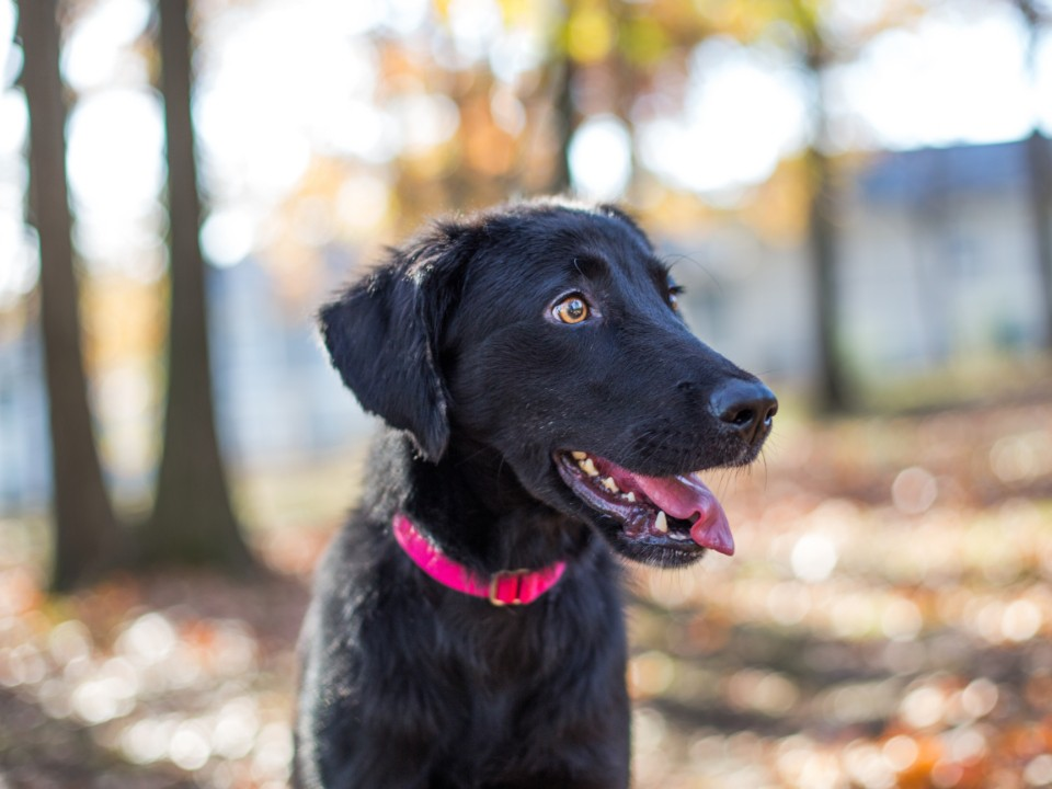 A black dog with pink collar