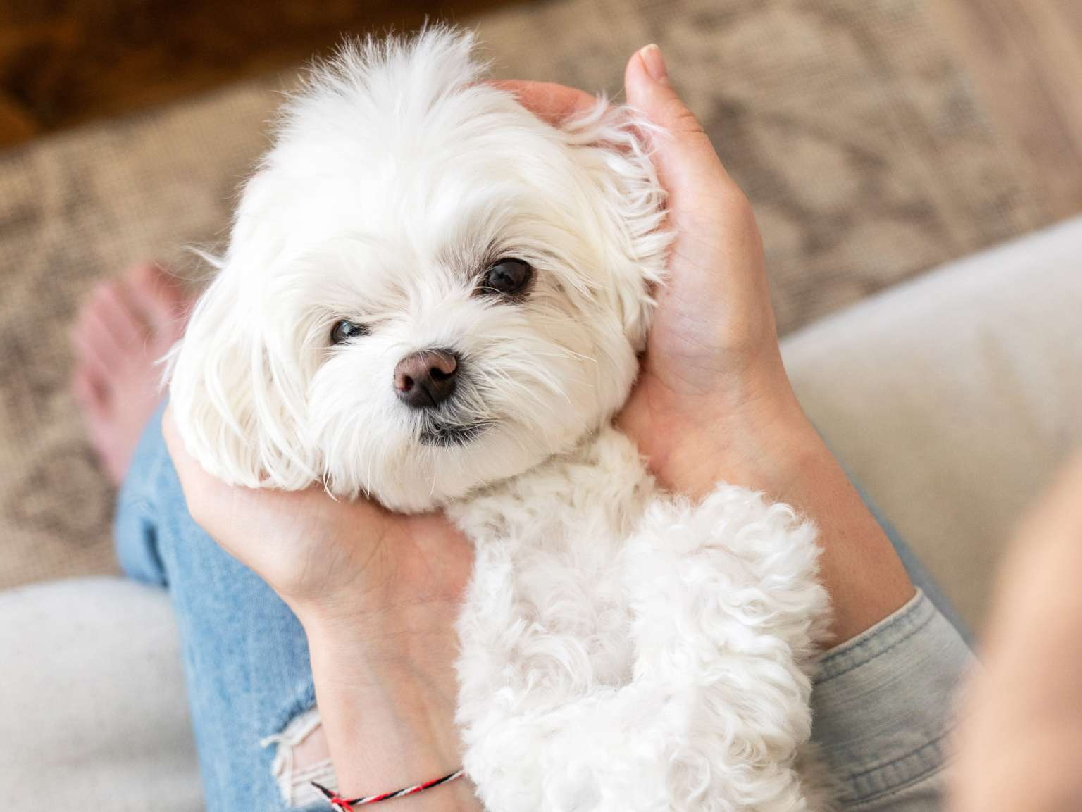 A close-up of a woman's hands holding a little white dog's head on her lap