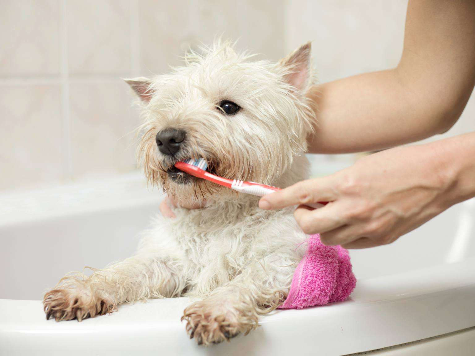 A West Highland Terrier getting its teeth brushed in a bathtub
