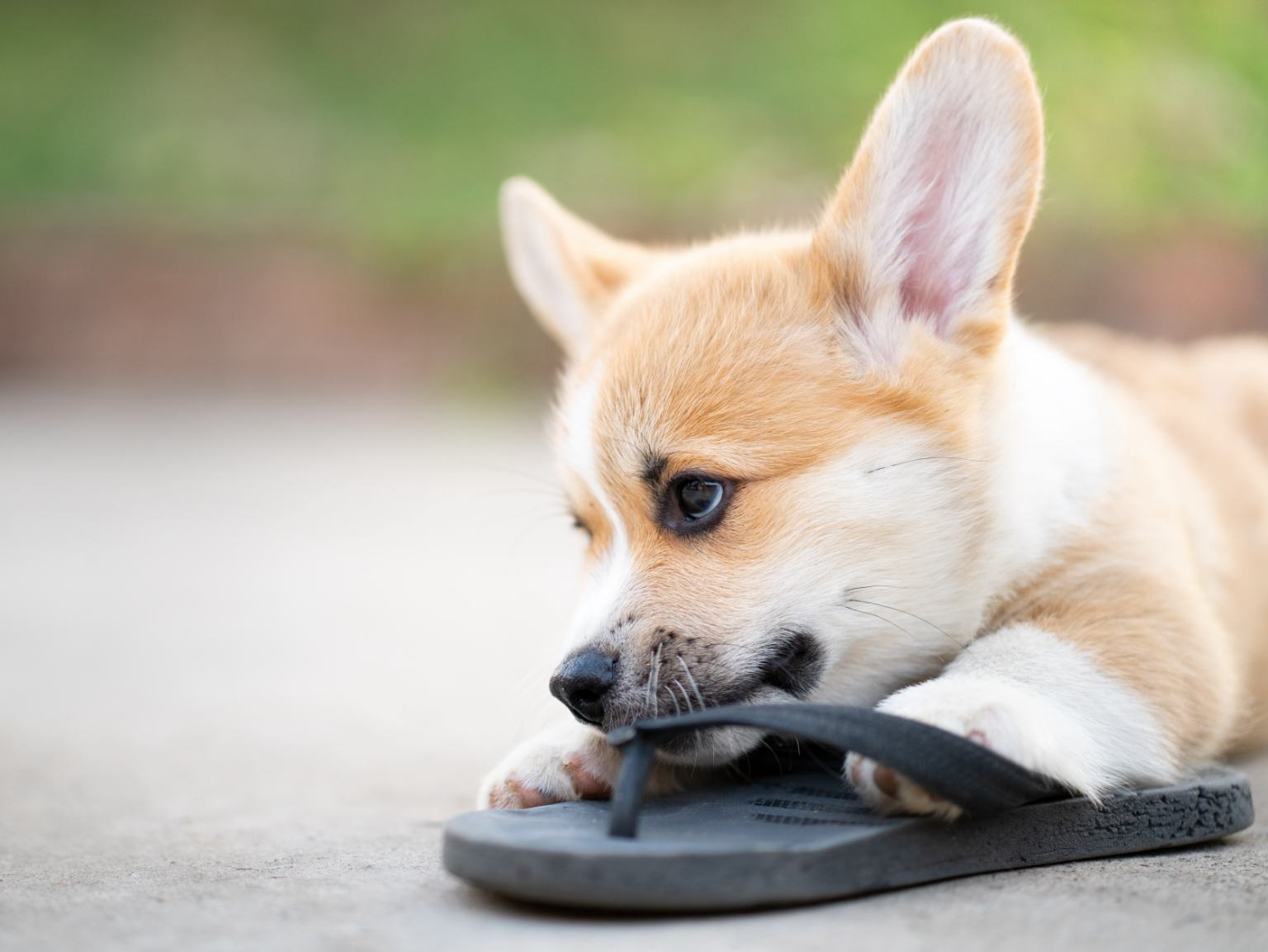 A Corgi puppy nibbling on a black sandal