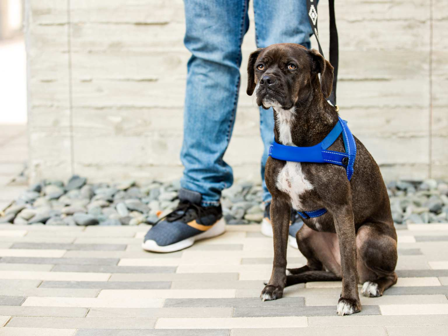 A Brindle Boxer dog wearing a blue harness