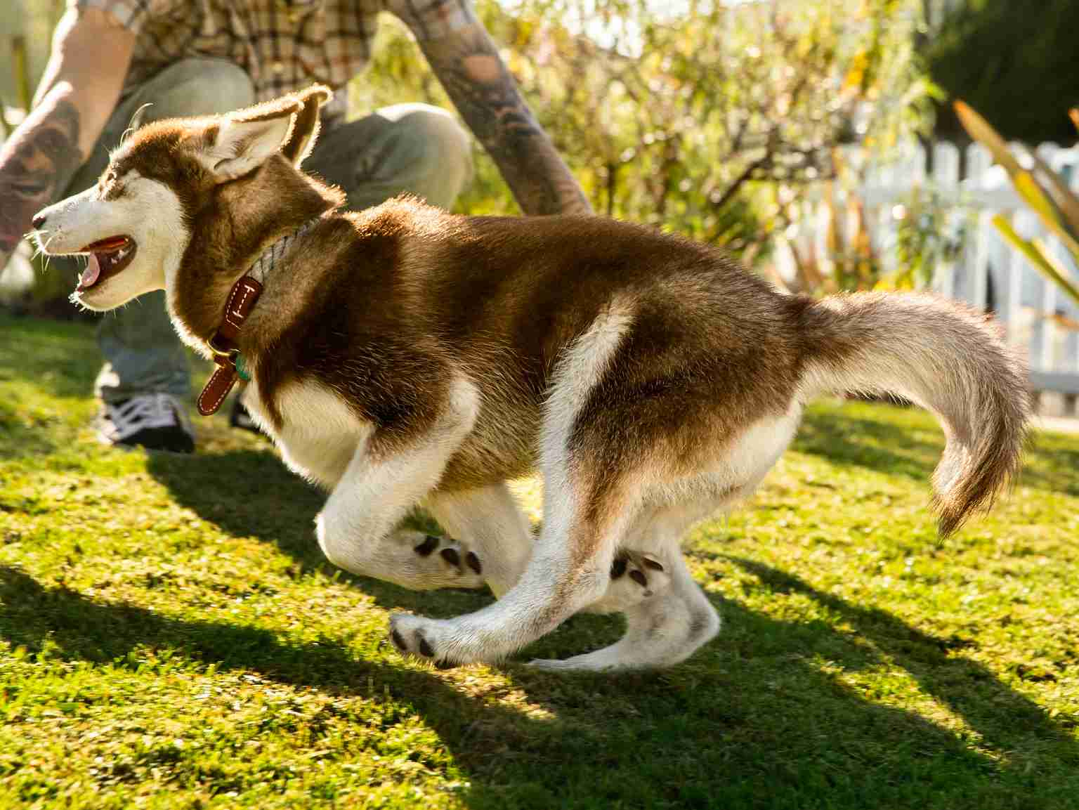 A husky puppy running in the yard and playing with its owner