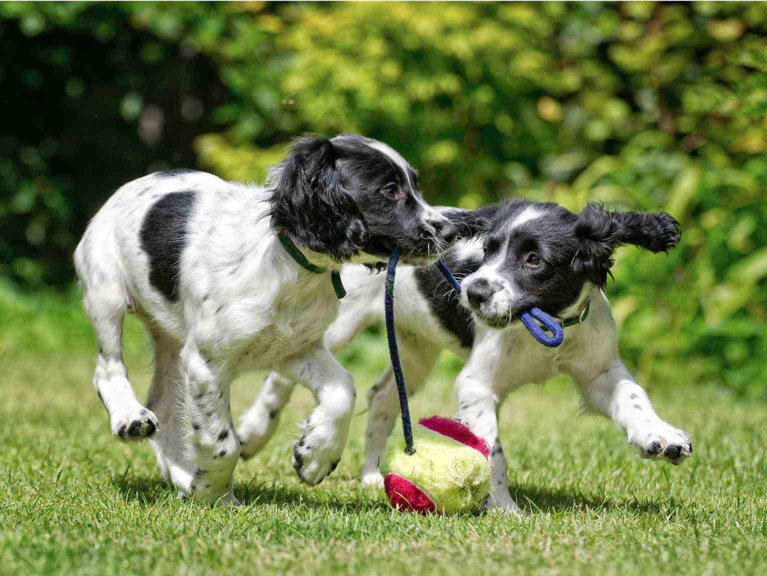 Two puppies playing with a rope toy