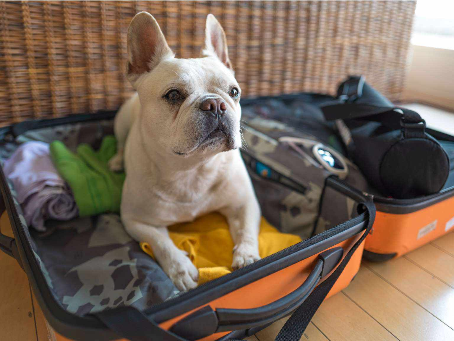 A French bulldog laying on top of an open suitcase