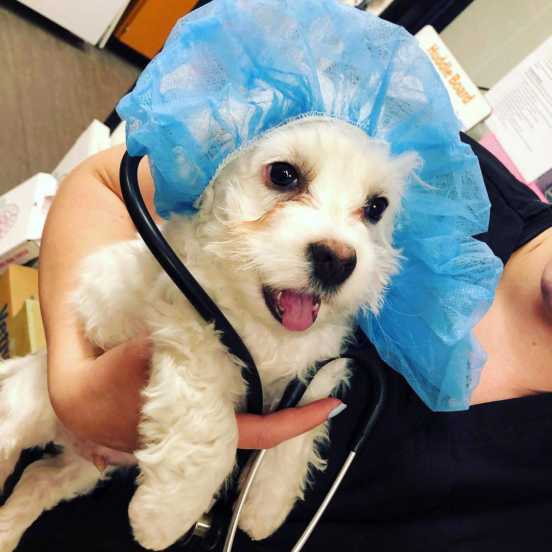 A female associate holding a dog, which is wearing a surgical cap, at the Banfield Pet Hospital, Mesquite, TX